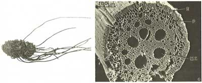 Micrograph of root